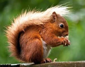 Sliemore STeading red squirrel